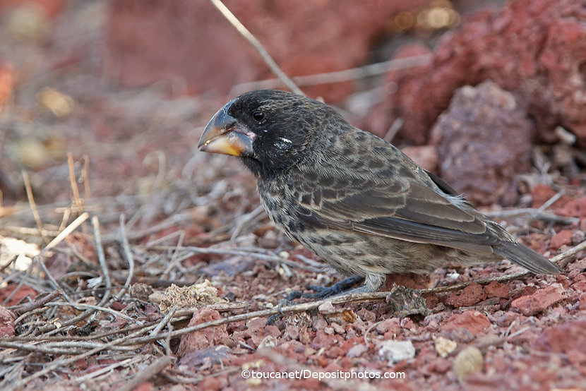 Finch with tough beak