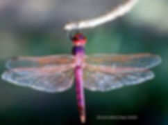 Modern and ancient dragonflies look alike