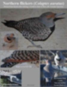4-Northern Flicker woodpecker m (2)abc.j