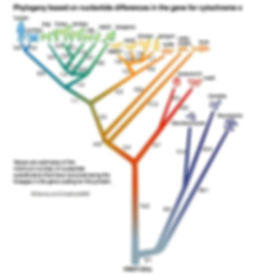 Evolution based on molecular phylogeny