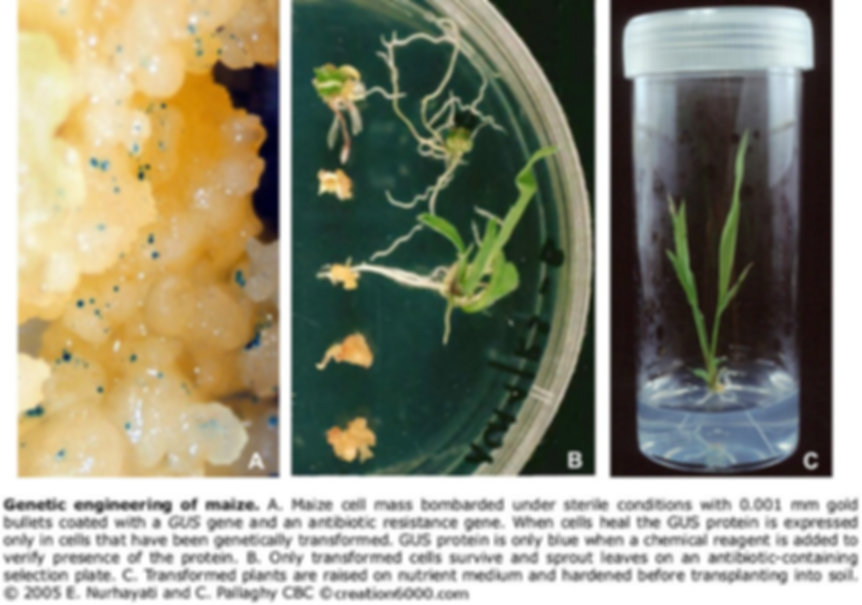 Genetic transformation of maize in Pallaghy laboratory on creation6000.com