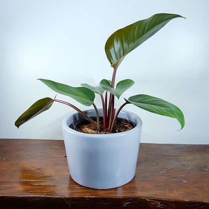 """Philodendron Rojo Congo """"Red Congo"""""""