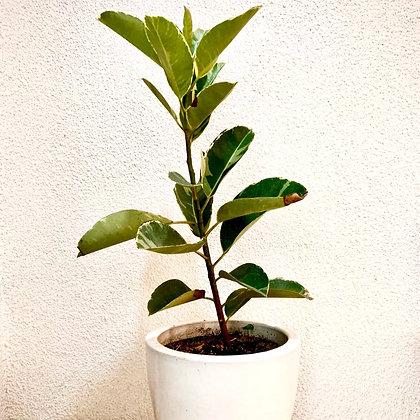 "Ficus Elastica ""Tineki"" Rubber Plant Variegated"