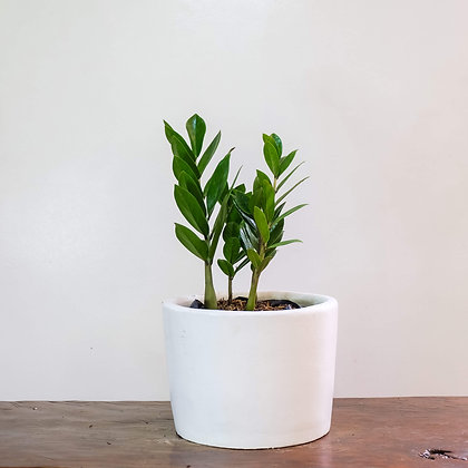 """Zz Plant """"Welcome Plant"""""""