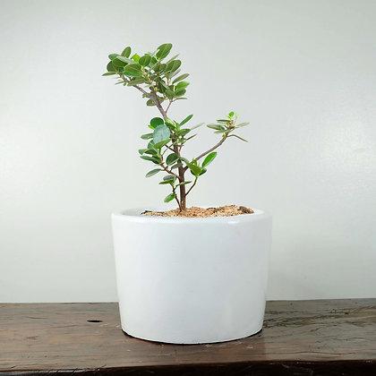 Ficus Nana Bonsai