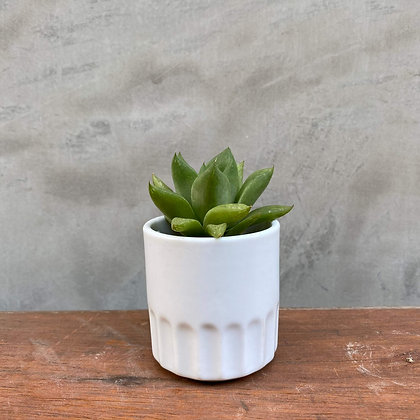 Haworthia in Ceramic Pot