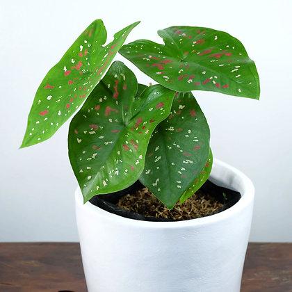 Caladium 'Painted Leaf'