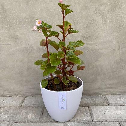 Begonia Cucullata 'Clubbed Begonia'