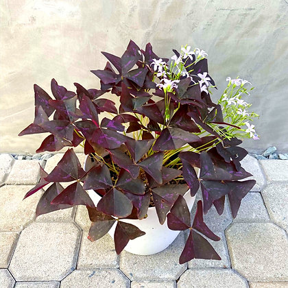 Oxalis Triangularis LUSH