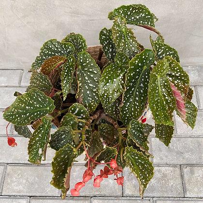 Begonia Maculata Polka Dot