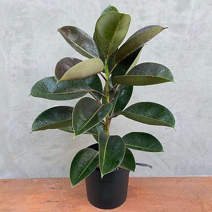 "Ficus Elastica ""Burgundy"" Rubber Plant"