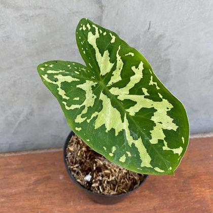 Camouflage Caladium