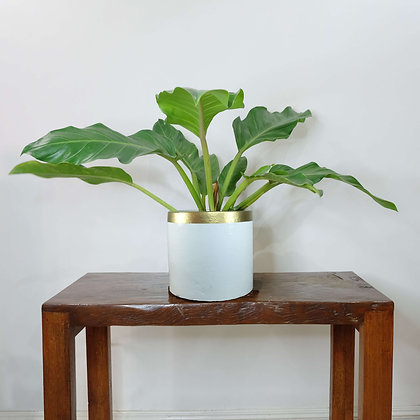Philodendron Melaloni