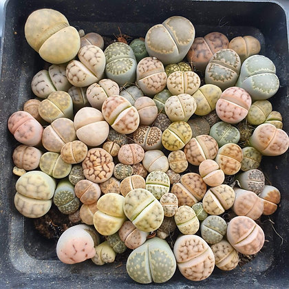 Lithops 'Butt Plants'