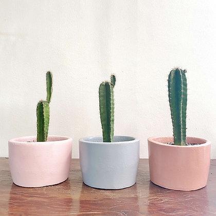 Cereus Hildmanianus Cactus