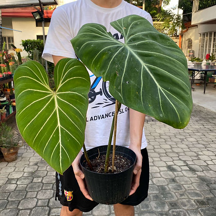 Philodendron Gloriosum 'Dark Form'