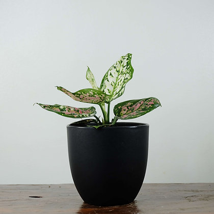 Aglaonema 'Tri-color'