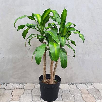 Dracaena Fragrans 'Corn Plant'