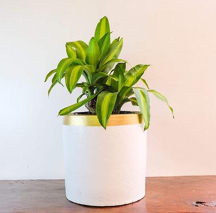 "Draceana Fragrans ""Dwarf Corn Plant"""