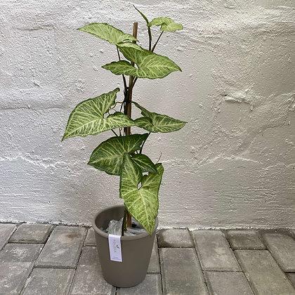 Syngonium Podophyllum 'Arrowhead Vine'