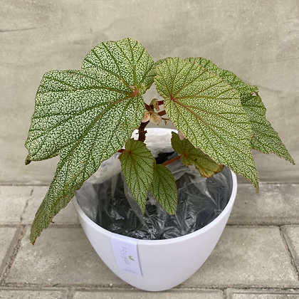 Begonia Frosty