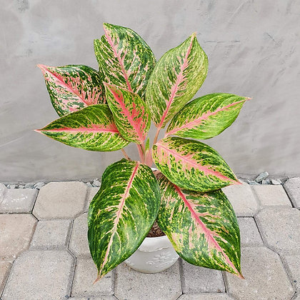 Aglaonema Big Roy