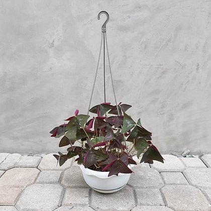 OxalisTriangularis in Hanging Pot