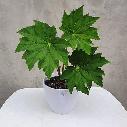 Oak Leaf Begonia
