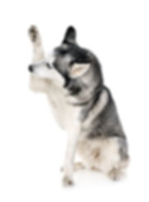 husky high five.jpg