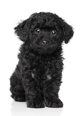 black poodle_edited_edited.jpg