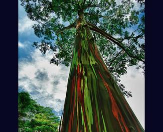 Eucalyptus, Maui