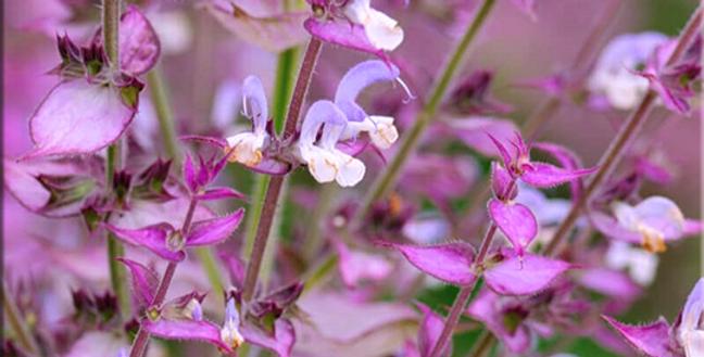 Esencia de Salvia Sclarea