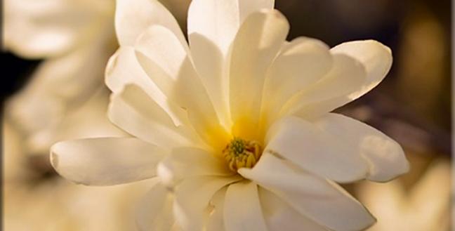 Esencia de Magnolia