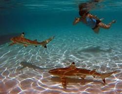 nager-avec-requins-à-moorea