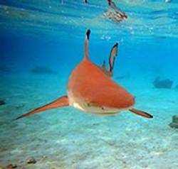 shark-moorea-french-polynesia