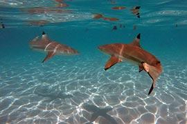 requins-à-pointes-noires-moorea