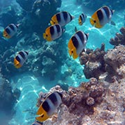 polynesian-fishes-butterfly-fish
