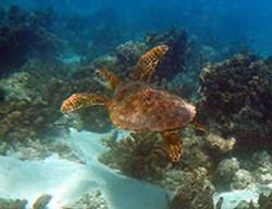 snorkeling-tortues-moorea
