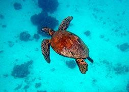 moorea-turtle