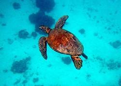 tortue-moorea