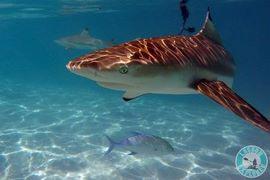 Requin-a-pointe-noir-Moorea