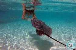 swim-with-stingray-island-of-moorea