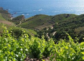 Viticulture : opération Reconquesta Côte Vermeille.(France Info Occitanie)