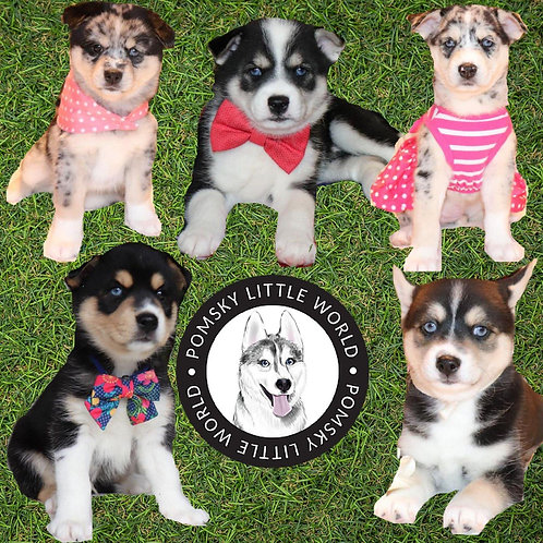 2 Males Pomsky Puppies Available!!!!! Second Generation(F2)