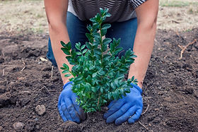 man-planting-a-tree-or-shrub-in-a-garden