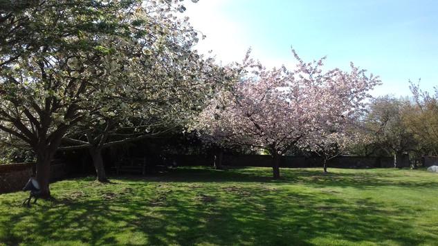 Blossom at Belchamp St Paul