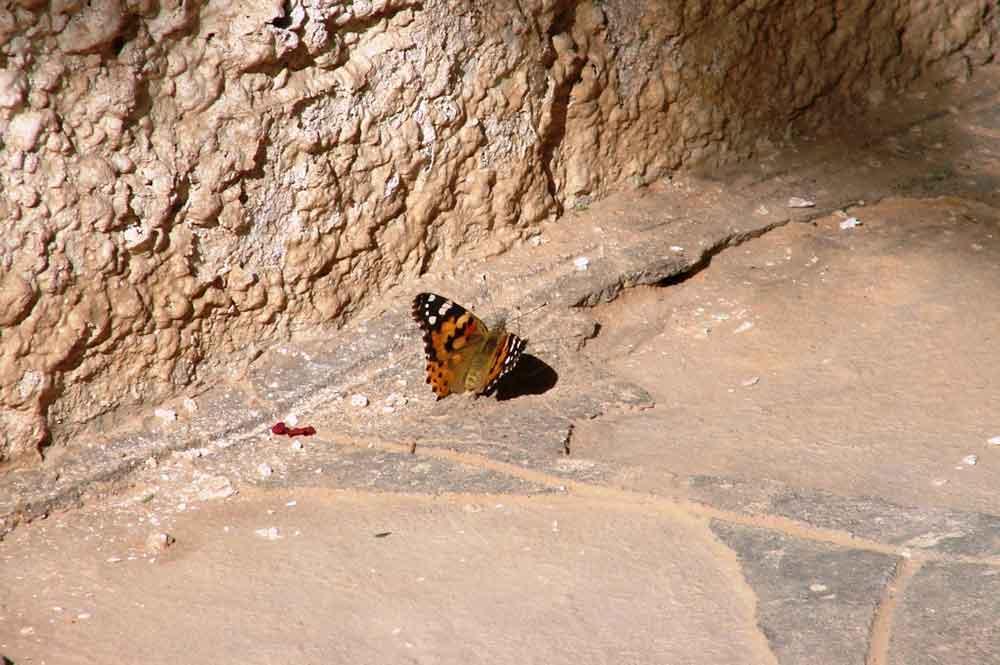Papillon au pied du mur.
