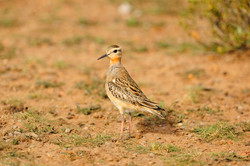 Tawny throated dotterel