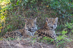 Jaguar, two brothers