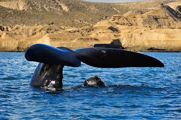 Southern Right Whale with calf